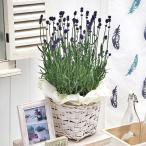 季節の花鉢「イングリッシュラベンダー」 日比谷花壇