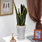 観葉植物「サンスベリア」ホワイトポット 日比谷花壇