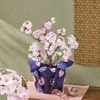 桜鉢「南殿桜」(風呂敷包み) 日比谷花壇