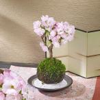 桜の苔玉「旭山」 日比谷花壇