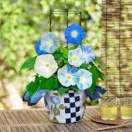 花 鉢植え 誕生日 西洋朝顔「マジックオーシャン」 日比谷花壇