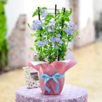 花 鉢植え 誕生日 「ルリマツリ」 日比谷花壇