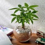 環境にやさしいエコスギ観葉植物 編み込みパキラ