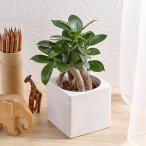 お手入れかんたん 観葉植物「人参ガジュマル(スクエアホワイト)」日比谷花壇