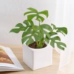 お手入れかんたん 観葉植物 ヒメモンステラ スクエアホワイト  日比谷花壇