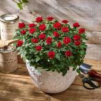 日比谷花壇 花鉢ミニバラ  スウィートボウル レッド   大西隆コレクション ギフト プレゼント 誕生日 記念日