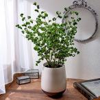 観葉植物「ベンジャミン・バロック」 インテリアグリーン 日比谷花壇