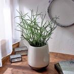 観葉植物「ミルクブッシュ」 インテリアグリーン 日比谷花壇