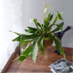 観葉植物 「コウモリラン(ハンギング)」 グリーン系 日比谷花壇