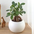 日比谷花壇 お手入れかんたん観葉植物 人参ガジュマル ホワイト