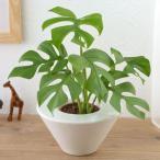 日比谷花壇 観葉植物 お手入れかんたん観葉植物 ヒメモンステラ ホワイト
