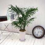 観葉植物「メキシコケンチャヤシ」 日比谷花壇