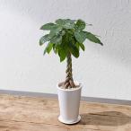 日比谷花壇 観葉植物 パキラ M ホワイトポット