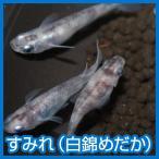 (メダカ)すみれ(白錦めだか)M〜Lサイズ 5匹セット