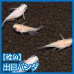 (メダカ)出目パンダ 未選別 稚魚 Sサイズ 10匹セット