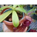 【食虫植物】Dionaea musucipula 'Red Purple' ハエトリソウ レッドパープル