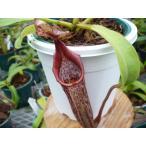【食虫植物】Dionaea musucipula 'Big Mouth' ハエトリソウ ビッグマウス