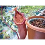 【食虫植物】Dionaea musucipula 'G17' ハエトリソウ