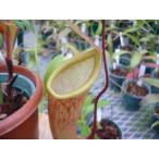 【食虫植物】Dionaea musucipula 'G15' ハエトリソウ