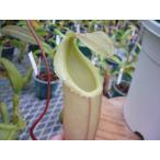 【食虫植物】Dionaea musucipula 'Big Jaws' clone1 ハエトリソウ
