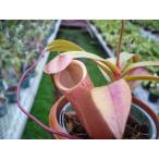 【食虫植物】Dionaea musucipula 'Big Jaws' clone3 ハエトリソウ