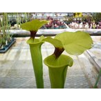 【食虫植物】Sarrasenia minorr サラセニア ミノール