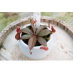【食虫植物】Drosera spatulata ドロセラ スパスラタ  コモウセンゴケ 2.5号