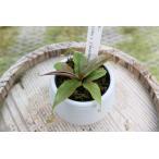 【食虫植物】Drosera admirabilis ドロセラ アドミラビリス 3号