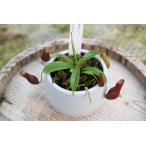 【食虫植物】Drosera tokaiensis