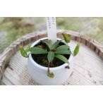 【食虫植物】Drosera spatulata 菊川産