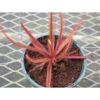 【食虫植物】Drosera adelae
