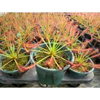 食虫植物 Drosersモウセンゴケ アフリカ3号