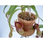 2点セット 食虫植物 ネペンテス ウツボカズラ ベントリコーサ2,5号