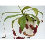 3点セット 食虫植物 ネペンテス ウツボカズラ ベントリコーサ2,5号