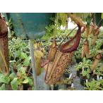 食虫植物 ネペンテス ウツボカズラ Mirandaミランダ6号〜7号