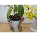 食虫植物 ネペンテス ウツボカズラ クリぺアタ×ベントリコーサ5号 鉢カバー付き