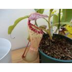 食虫植物 ネペンテス ウツボカズラ クリぺアタ×ベントリコーサ6号