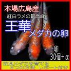広島産 王華 めだか 卵30個 紅白 ラメ 最高峰 改良 メダカ 超美個体 親群