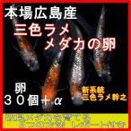 広島産 三色ラメ めだか 卵 30個 レインボー 虹色 光る メダカ 最高級画像