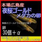 広島産 夜桜ゴールド めだか 卵30個 黄金 ラメ 改良 メダカ 超美個体 親群