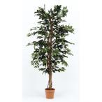 観葉植物 フィカス 1124 Aコード 52662 不二貿易