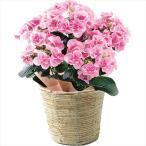母の日 プレゼント ギフト 2018 送料無料 色移りアジサイ鉢植え フェアリーアイ(ピンク)(M2018−3)【M】 / プレゼント 贈り物 鉢植え 生花 お花 かわいい