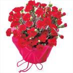 母の日 プレゼント 送料無料 カーネーション鉢植え(赤)【M】 / プレゼント 贈り物 鉢植え 鉢花 生花 お花 フラワーギフト きれい かわいい 限定 御祝い