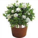 母の日 プレゼント 送料無料 ガーデニア鉢植え【M】 / プレゼント 贈り物 鉢植え 鉢花 生花 お花 フラワーギフト きれい かわいい 限定 御祝い