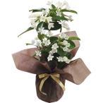 母の日 プレゼント 送料無料 マダガスカルジャスミン鉢植え【M】 / プレゼント 贈り物 鉢植え 鉢花 生花 お花 フラワーギフト きれい かわいい 限定 御祝い