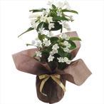 父の日ギフト プレゼント 送料無料 マダガスカルジャスミン鉢植え【M】 / プレゼント 贈り物 鉢植え 鉢花 生花 お花 フラワーギフト きれい 限定 御祝い