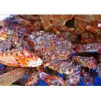 花蟹 - 活花咲ガニ(オス・約1.5kg前後)※調理用の塩・茹で方のレシピ付