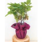 育てて、食べる! 葡萄 ブドウ ぶどうの鉢植え デラウェア 特A ギフト お中元 贈り物 父の日 送料無料