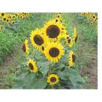 花の種 ひまわり 風炎 5ml(約100粒)
