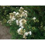 サルスベリ苗木 ホワイトフェアリー 白 4.5号鉢